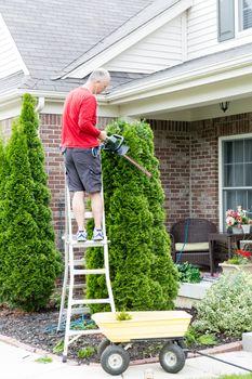 Gardener trimming an Arborvitae or Thuja tree