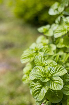 Mint plant grown at garden