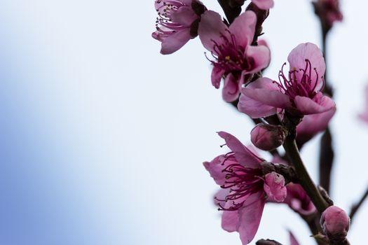 peach flowers in a strange spring