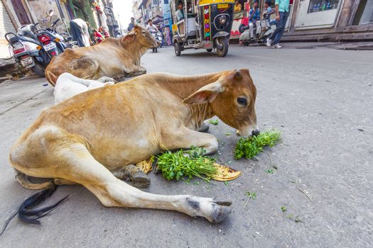 JODHPUR, INDIA - OCT 23, 2012: indian cow eating vegetables and bread in the morning in Jodhpur, India. Cows are holy animals in India.
