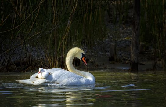 Mute swan, cygnus olor, mother and baby