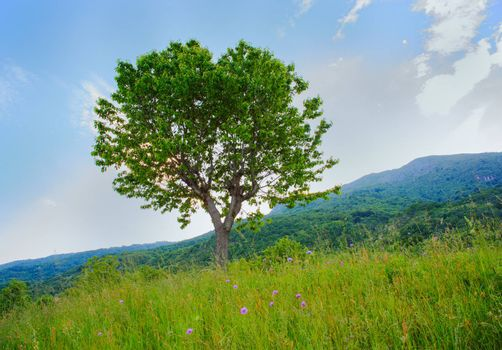 View of cherry tree in the countryside, Arzo - Verbania, Italy
