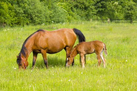 Mare and her foal on a summer pasture.