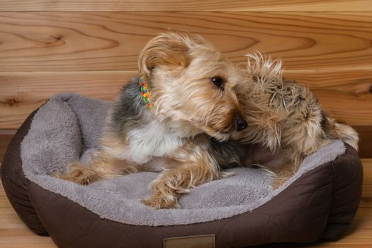 Yorkshire Terrier with Collar in Bed Scratching Head