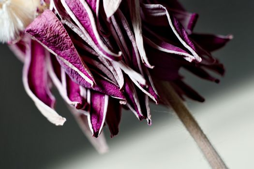 Purple withered flower