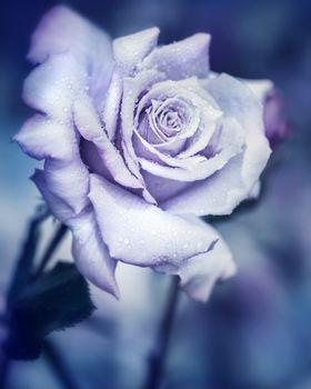 Vintage rose at night