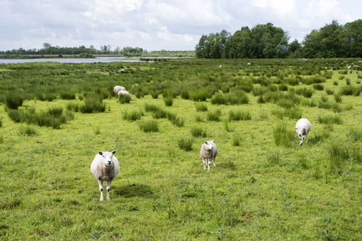 sheep grazing on field with green grass with pond and forest as background