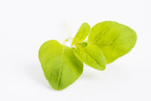 Twig of oregano on a white background