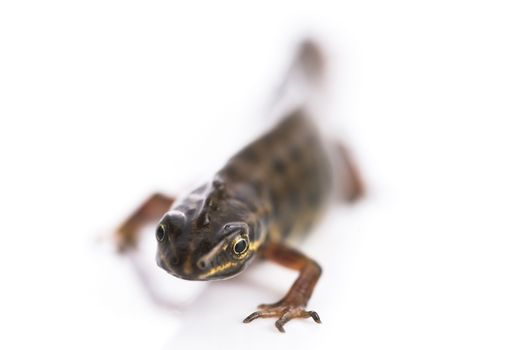 Smooth newt on white background