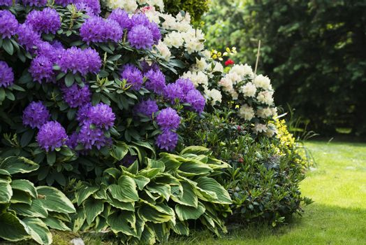 Two blooming rhododendron