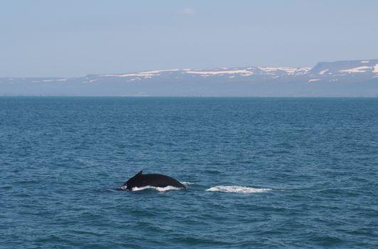 Humpback whale, Husavik, Iceland