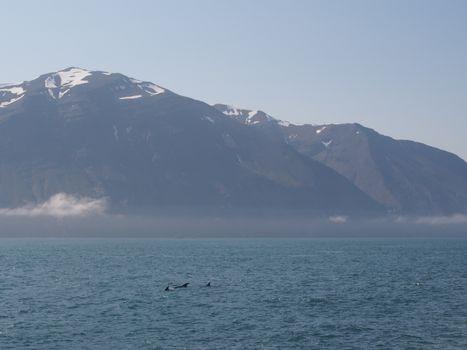 White-beaked dolphins, Husavik, Iceland