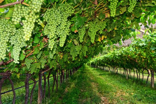 vineyard on summer