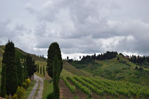 Pisa vingård