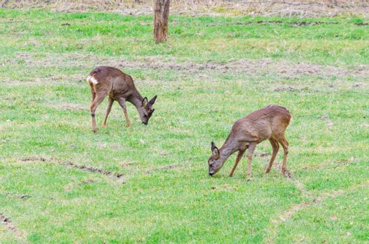 Large group of wild deer on a meadow.