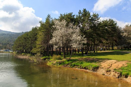 Big pine trees in meadow by the coastline of a lake or river, under cloudy sky.