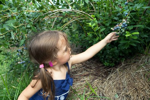 Close up of a toddler age girl picking blueberries that are ripe straight from the bush. Shallow depth of field.