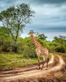 South African wild giraffe
