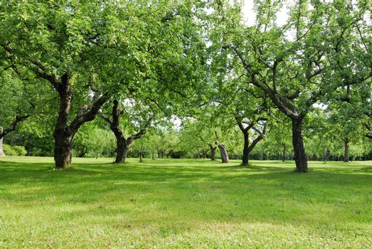 Garden with apple and pear trees, Ekerö in Sweden.