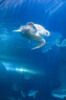 Turtle swimming in a tank