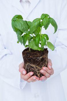 Doctor holing basil plant
