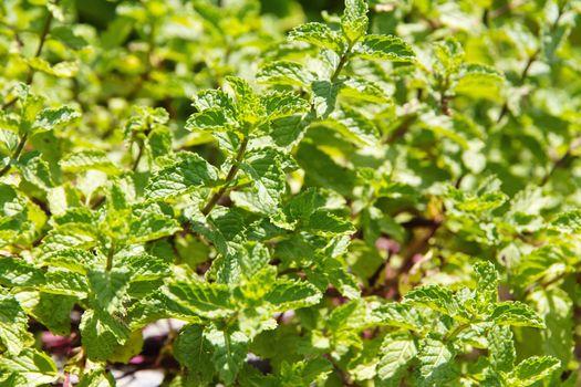 Fresh Marsh Mint plant