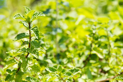 Fresh Marsh Mint plant background