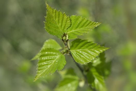 Young spring green leafs of birch