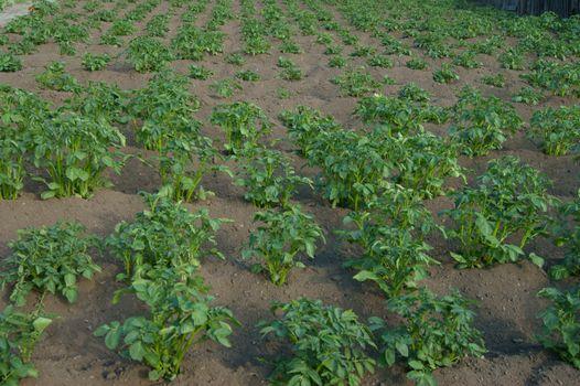 Potatoes on area