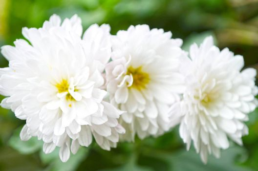 A garden of white color flowers