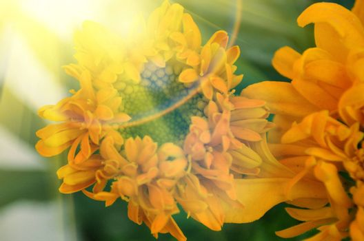 Yellow color flowers in the garden captured very closeup with sunlight
