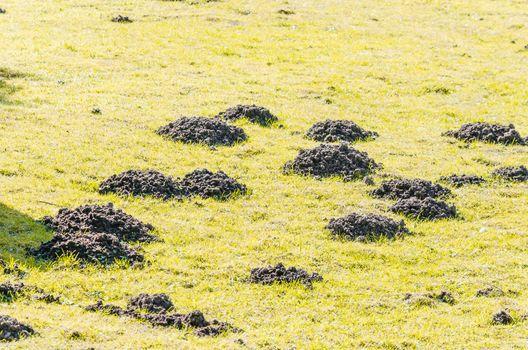 Diverse molehill on a lawn in the garden.