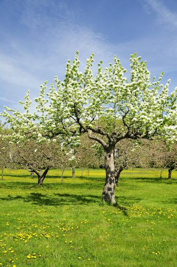 Apples tree in Swedish orchard.