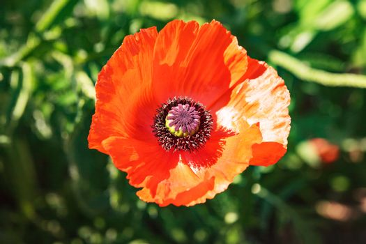 Single colorful red poppy in a corn field, meadow or garden viewed from above in sunlight against green foliage