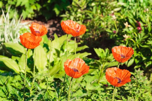 High angle close up of six red poppy flowers in sunlight surrounded by greenery