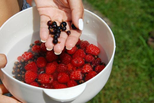 Holding black currants in the hand