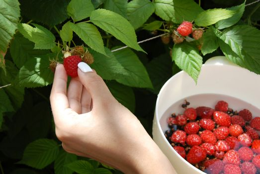 Hand harvesting one raspberry