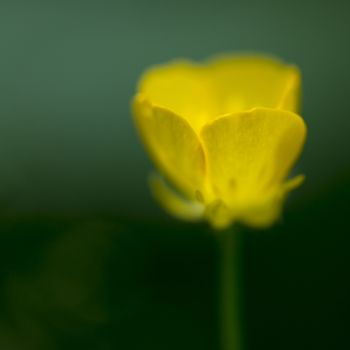 Abstract yellow Forest Buttercup flower called Ranunculus Polyanthemos