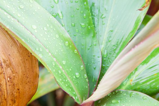 Water droplets on the leaves. Dew on the leaves in the morning cold.