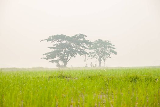 Trees in rice fields. There is a cold and foggy morning with the dew.