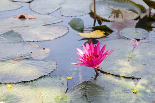 Lotus in the pond. Many lotus flowers in the pond is in full bloom.
