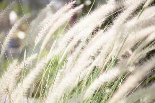 Flower of grass Rail slender grass and flowers can be blown in the wind.