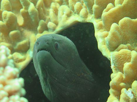 Giant moray hiding  amongst coral reef on the ocean floor, Bali.
