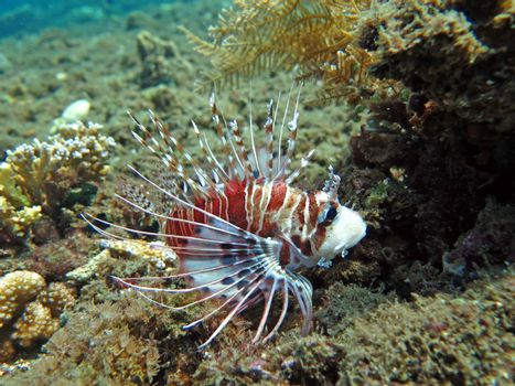 Lionfish (pterois) on coral reef Bali.