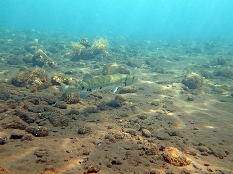 Great Barracuda fish in ocean Bali