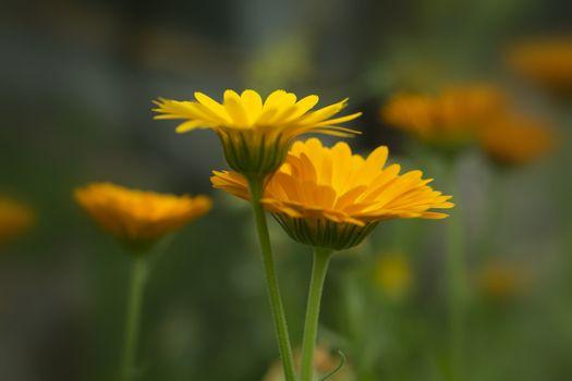 Pair of orange calendula flowers