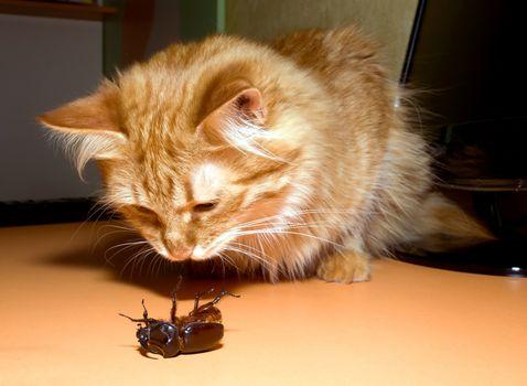 Cats beetle