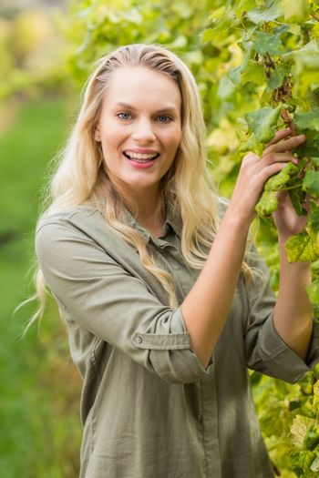 Blonde winegrower harvesting the grapes
