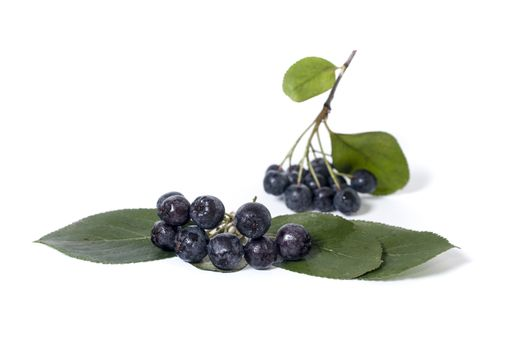 Black chokeberry - aronia on a white background