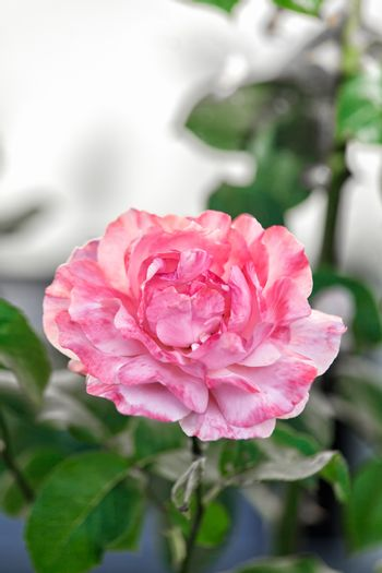 Single pretty perfect pink rose growing on a bush in the garden symbolic of love and romance, with copyspace